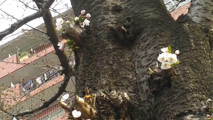 さくら 🌸 開花宣言!!_d0062076_11502130.jpg