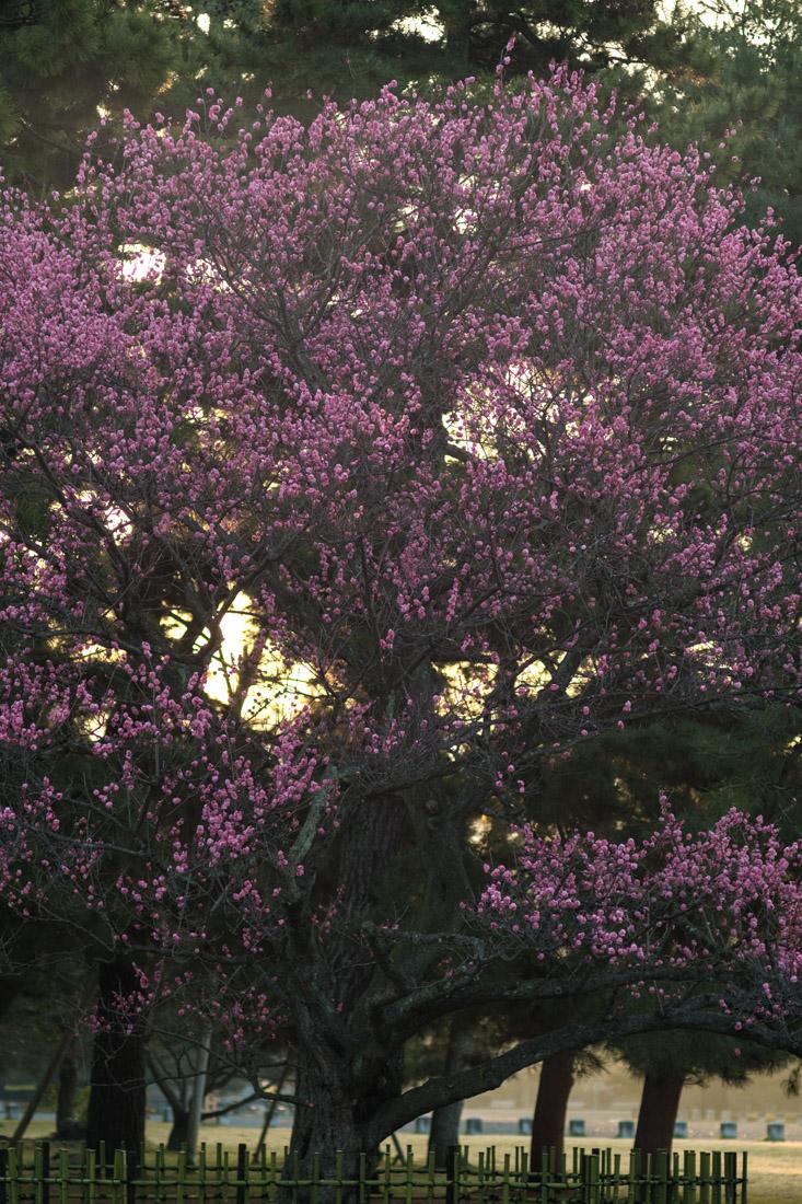 京都御苑・黒木の梅 (3)_b0221605_21245082.jpg