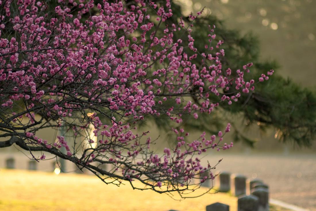 京都御苑・黒木の梅 (3)_b0221605_2125395.jpg