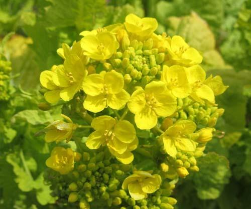 菜園の花がスタート_e0048413_18113810.jpg