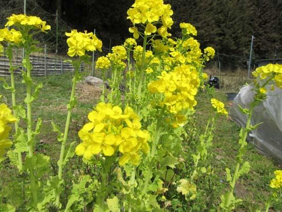 菜園の花がスタート_e0048413_18114983.jpg