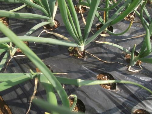 玉ねぎの成長.._b0137932_18553414.jpg