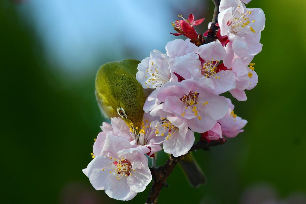 梅にメジロ_f0053272_23523842.jpg