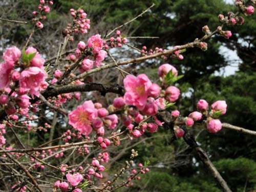 京都御苑 桃林満開_e0048413_20304073.jpg