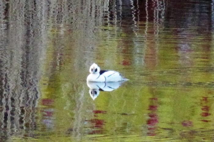 大宮公園でパンダ ガモ(ミコアイサ)を撮る_d0150720_18080952.jpg