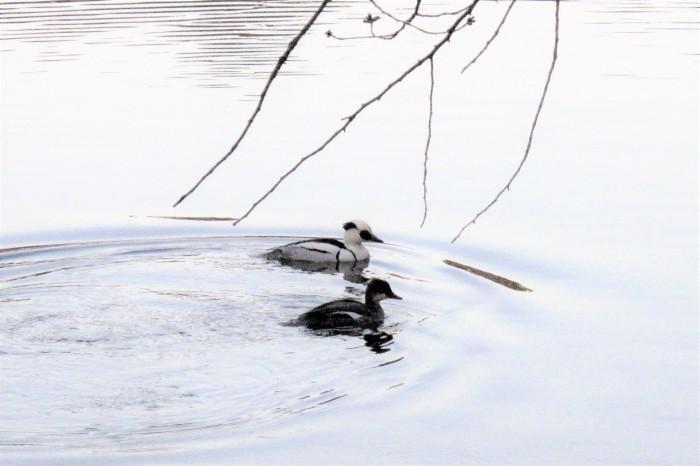 大宮公園でパンダ ガモ(ミコアイサ)を撮る_d0150720_18082074.jpg