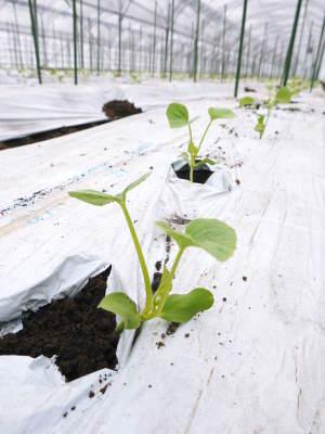 肥後グリーン 熊本産高級マスクメロン『肥後グリーン』2018年の定植直後の様子と苗床で育つ次の苗たち_a0254656_17203376.jpg