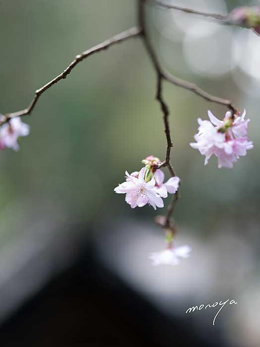 十月桜_c0085877_6381463.jpg