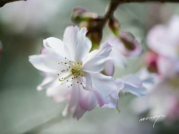 十月桜_c0085877_6382439.jpg