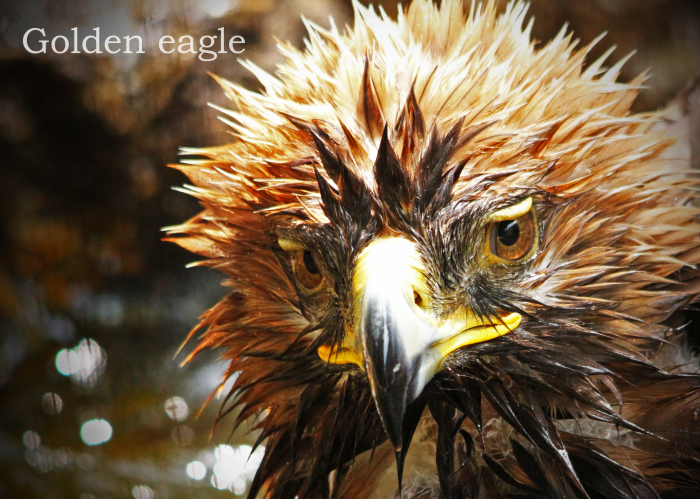 イヌワシ:Golden eagle_b0249597_05395527.jpg