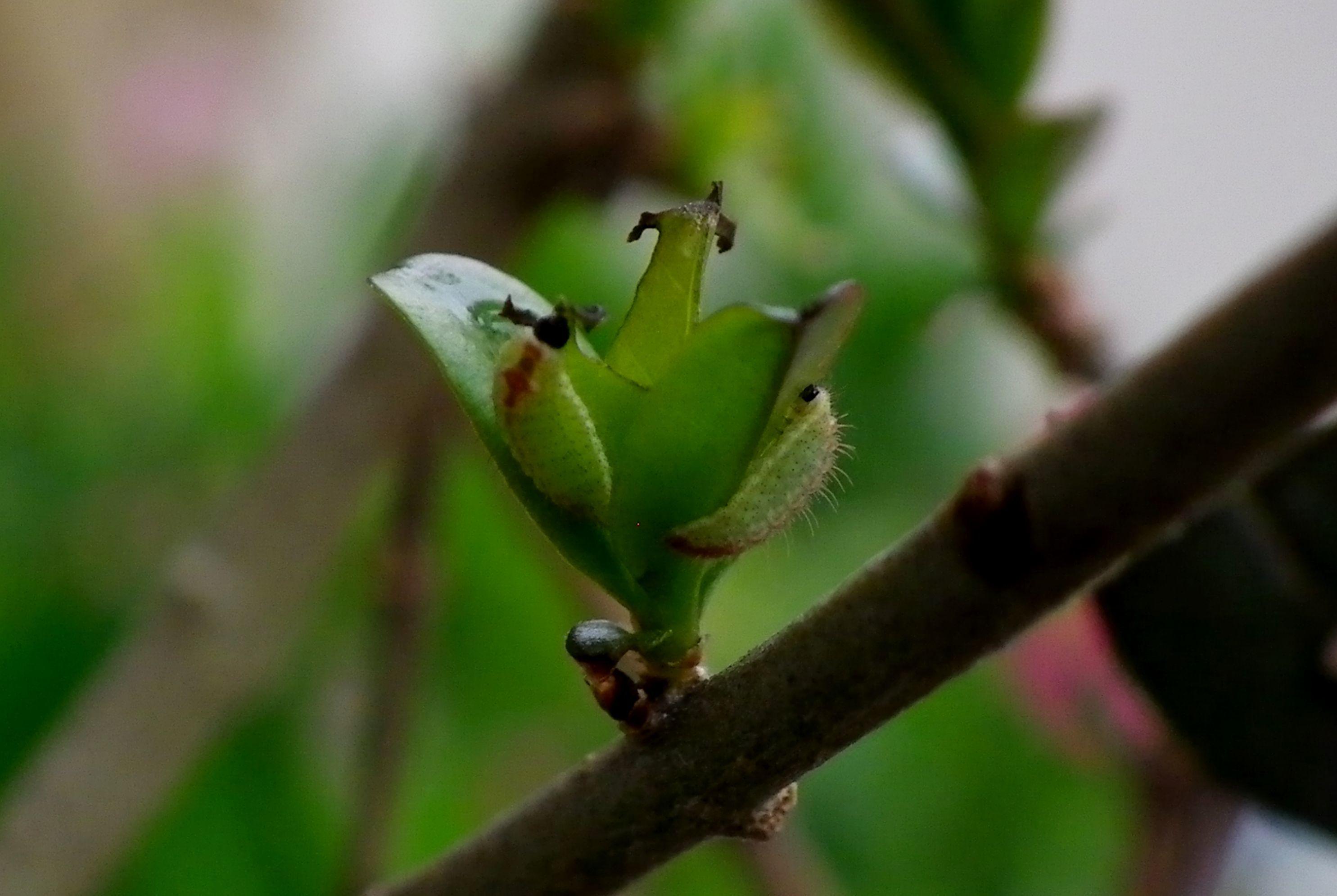 ウラゴマダラシジミ幼虫 3月26日_d0254540_15594308.jpg