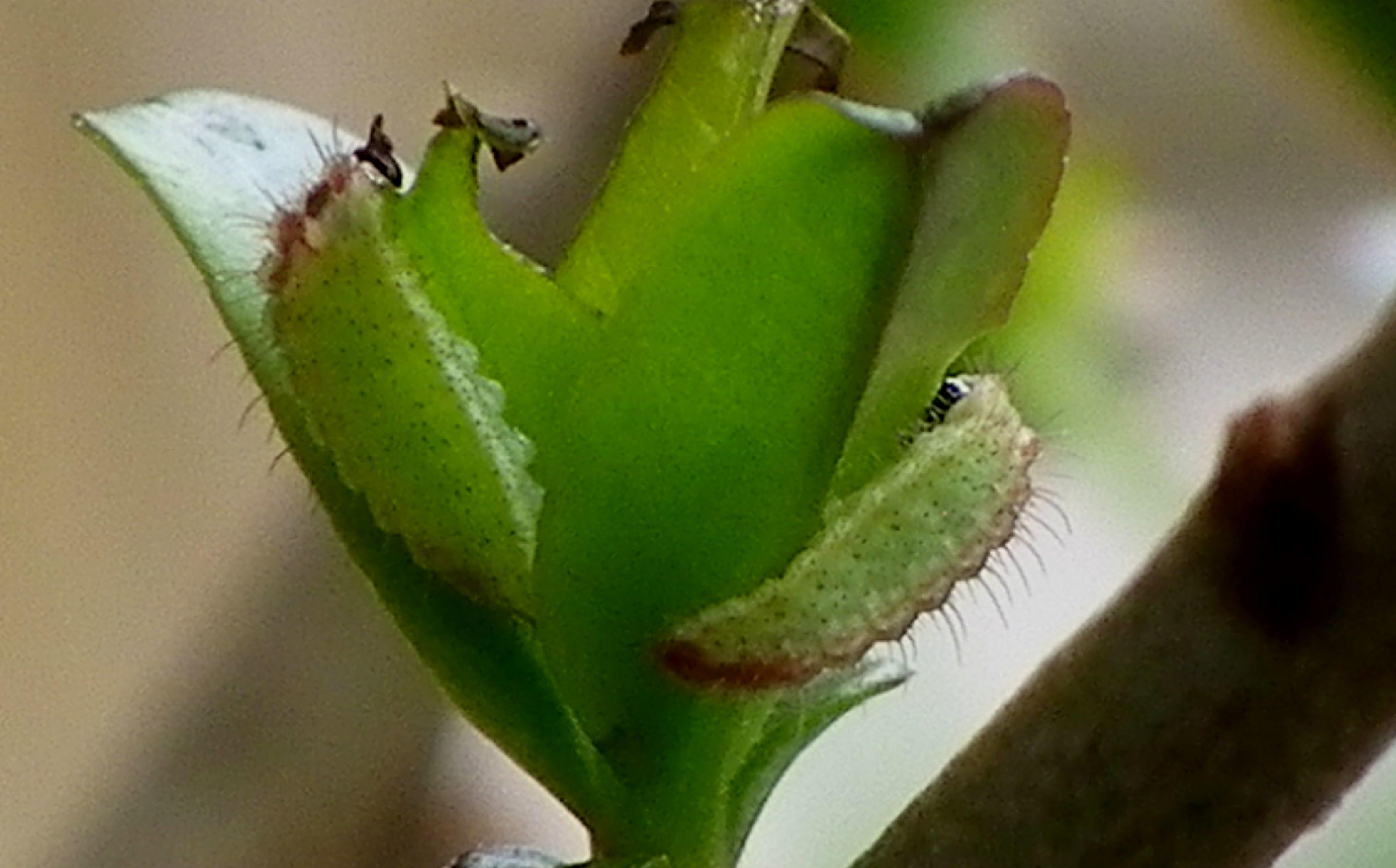ウラゴマダラシジミ幼虫 3月26日_d0254540_16001854.jpg