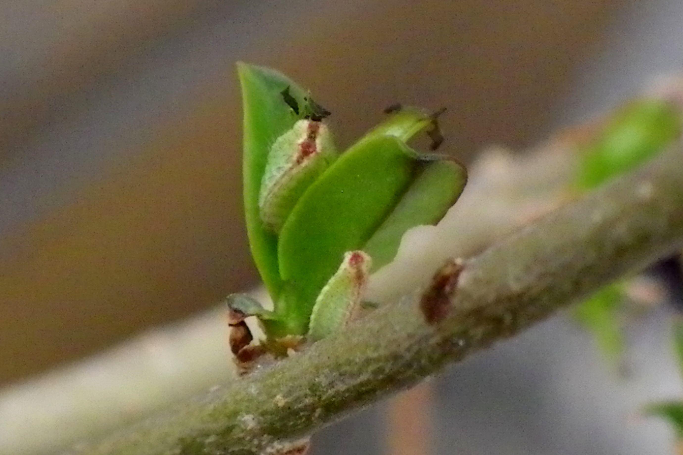 ウラゴマダラシジミ幼虫 3月26日_d0254540_16003694.jpg