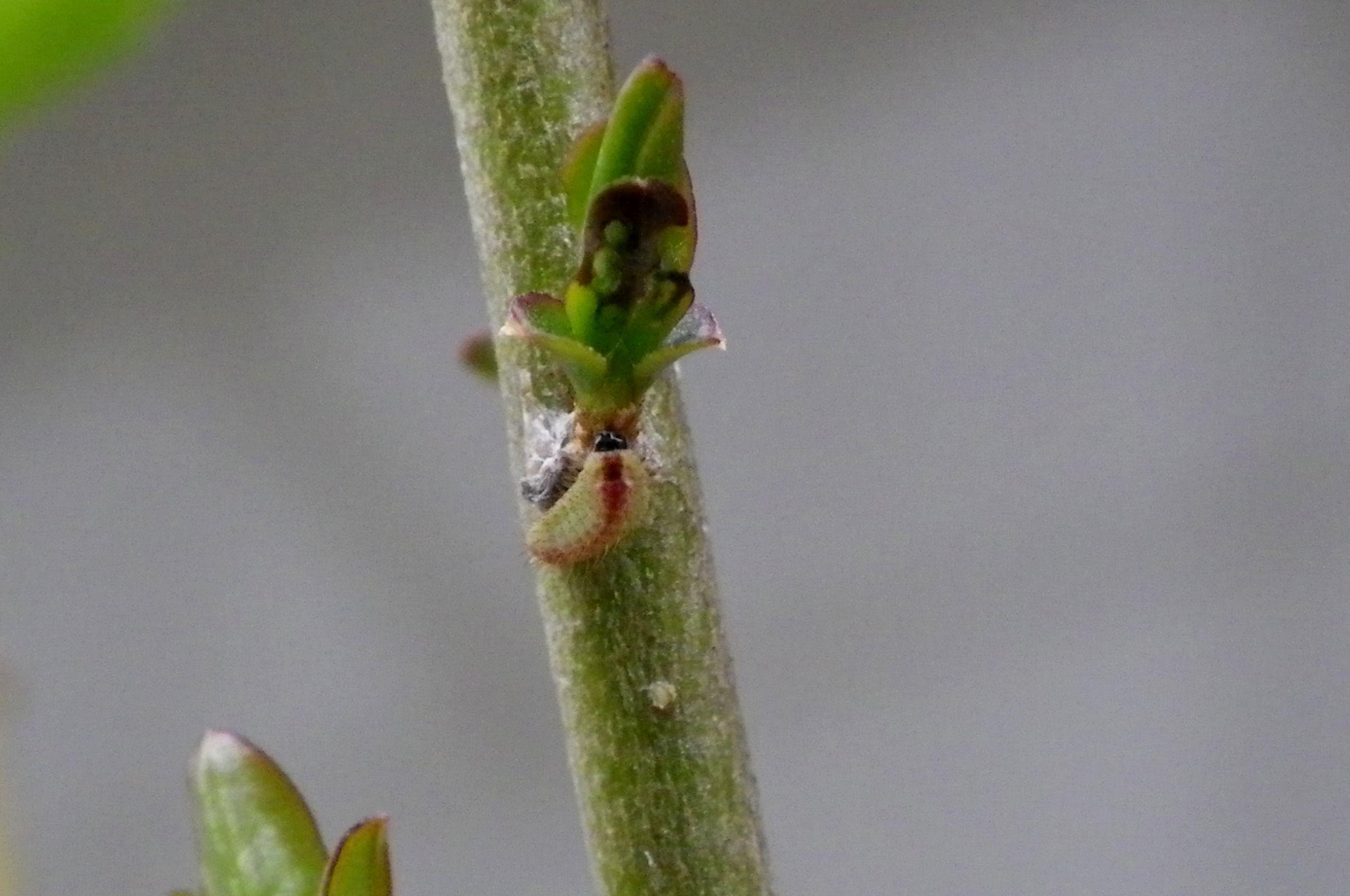 ウラゴマダラシジミ幼虫 3月26日_d0254540_16005819.jpg