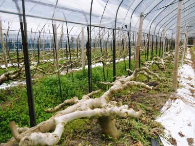 甘熟イチジク 匠の剪定作業2017 枝の下から新しい芽を芽吹かせます!_a0254656_17465256.jpg