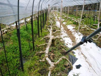 甘熟イチジク 匠の剪定作業2017 枝の下から新しい芽を芽吹かせます!_a0254656_17512277.jpg