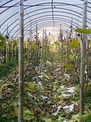 甘熟イチジク 匠の剪定作業2017 枝の下から新しい芽を芽吹かせます!_a0254656_17593421.jpg