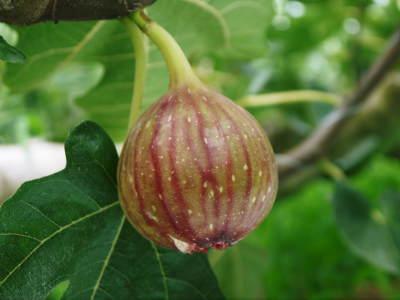 甘熟イチジク 匠の剪定作業2017 枝の下から新しい芽を芽吹かせます!_a0254656_18033878.jpg