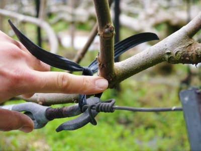 甘熟イチジク 匠の剪定作業2017 枝の下から新しい芽を芽吹かせます!_a0254656_18055018.jpg