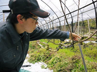 甘熟イチジク 匠の剪定作業2017 枝の下から新しい芽を芽吹かせます!_a0254656_18165501.jpg