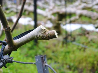 甘熟イチジク 匠の剪定作業2017 枝の下から新しい芽を芽吹かせます!_a0254656_18210971.jpg