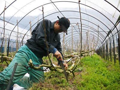 甘熟イチジク 匠の剪定作業2017 枝の下から新しい芽を芽吹かせます!_a0254656_18234323.jpg