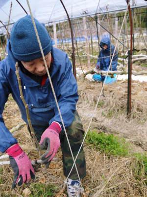 甘熟イチジク 確実に実る弱い枝を芽吹かせ育てるための匠の剪定作業2020_a0254656_18295613.jpg