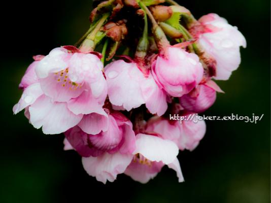 陽光桜_a0157091_18561301.jpg