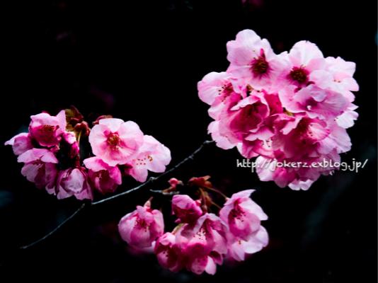 陽光桜_a0157091_18562277.jpg