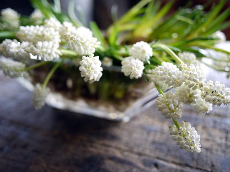 球根付きの白い花のムスカリ。_b0171193_17123586.jpg