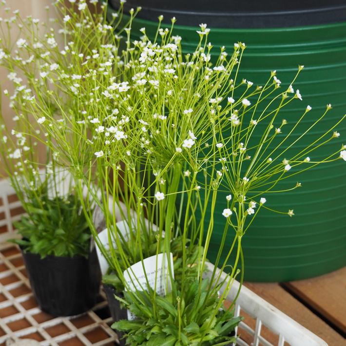 寄せ植え向きのお花が入荷①_a0292194_14235089.jpg