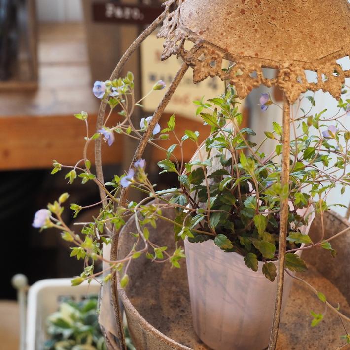 寄せ植え向きのお花が入荷①_a0292194_22361633.jpg