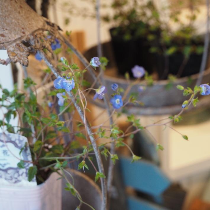 寄せ植え向きのお花が入荷①_a0292194_22363937.jpg
