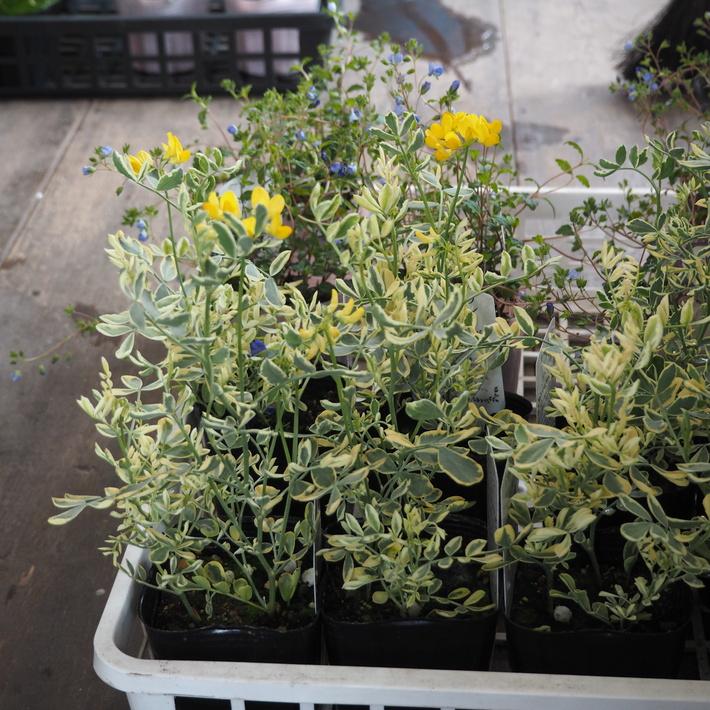 寄せ植え向きのお花が入荷②_a0292194_230827.jpg