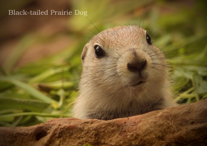 オグロプレーリードッグ:Black-tailed Prairie Dog_b0249597_07182760.jpg