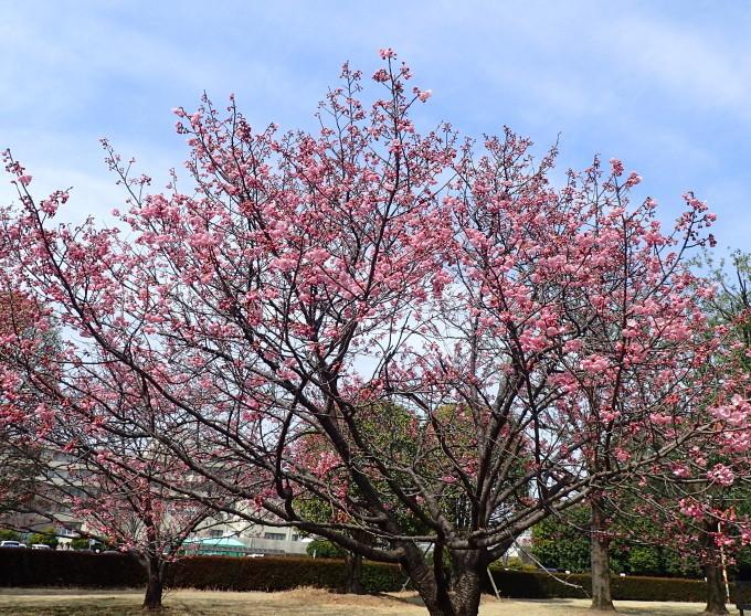 埼玉中部                          ピンク桜とメジロ2017/03/25_d0251807_08284276.jpg
