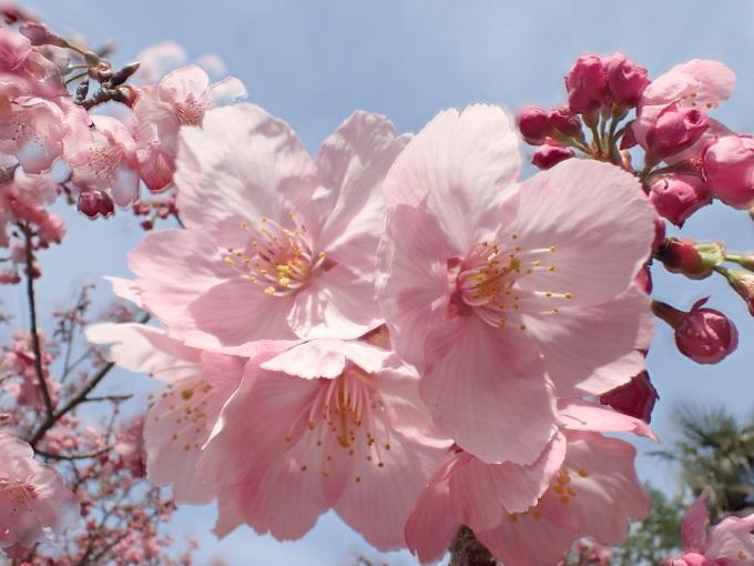 埼玉中部                          ピンク桜とメジロ2017/03/25_d0251807_08291203.jpg