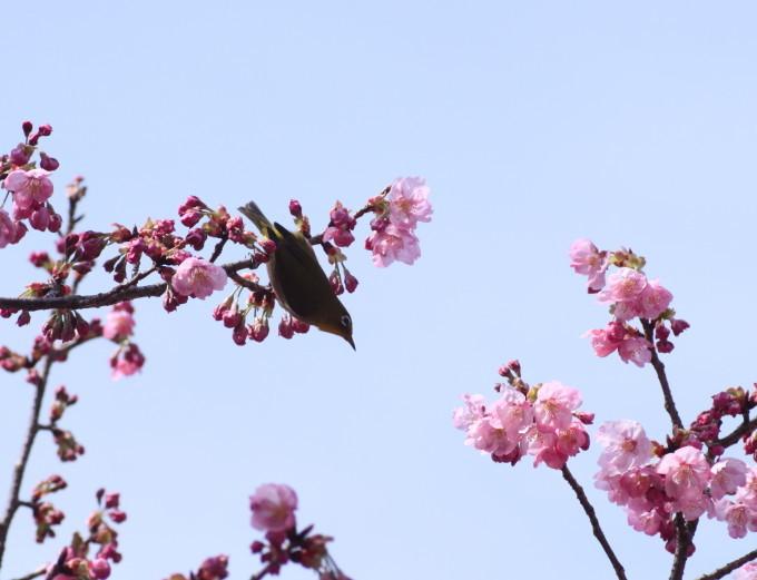 埼玉中部                          ピンク桜とメジロ2017/03/25_d0251807_08292799.jpg