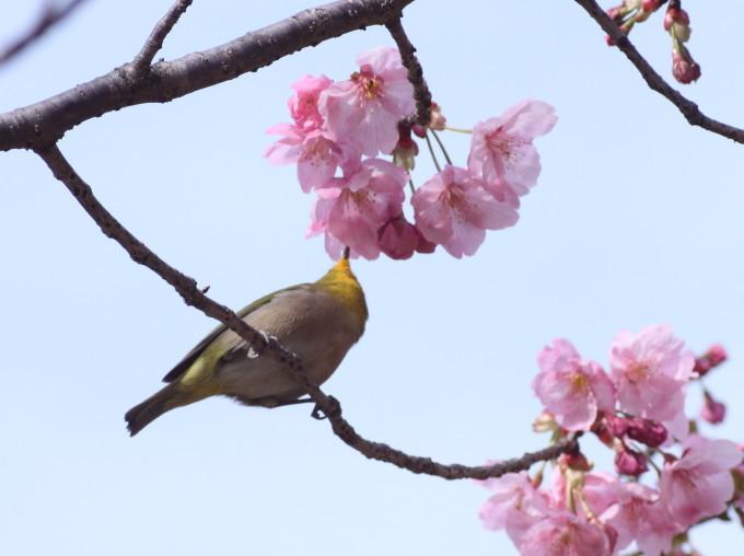 埼玉中部                          ピンク桜とメジロ2017/03/25_d0251807_08294166.jpg