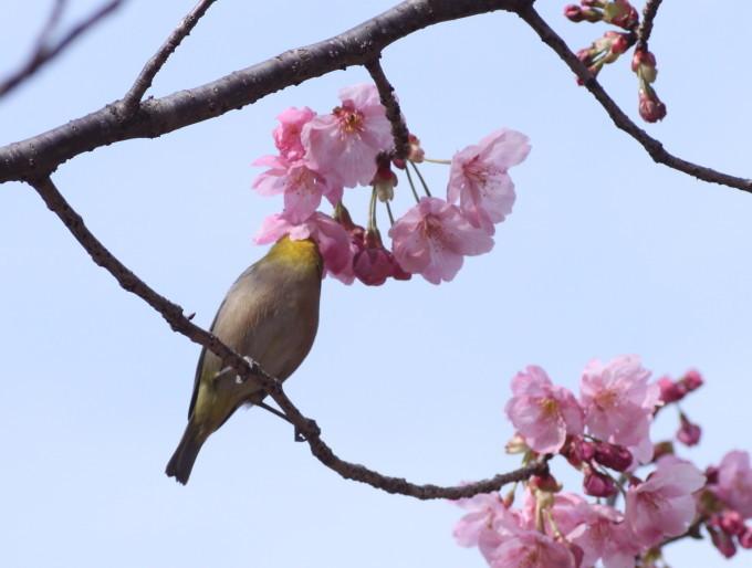 埼玉中部                          ピンク桜とメジロ2017/03/25_d0251807_08300048.jpg
