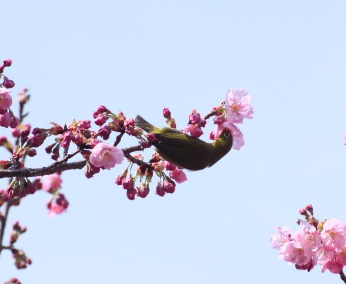 埼玉中部                          ピンク桜とメジロ2017/03/25_d0251807_08301751.jpg