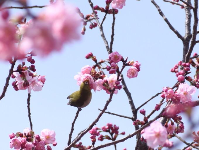 埼玉中部                          ピンク桜とメジロ2017/03/25_d0251807_08304184.jpg