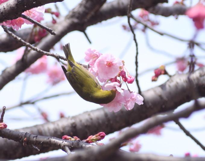 埼玉中部                          ピンク桜とメジロ2017/03/25_d0251807_08305696.jpg
