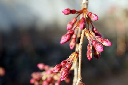 まだ咲かぬ桜情報_b0145296_16432361.jpg
