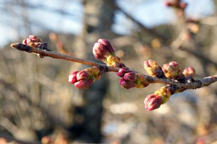 まだ咲かぬ桜情報_b0145296_16433456.jpg