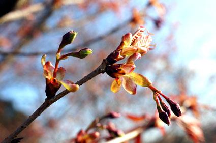まだ咲かぬ桜情報_b0145296_16434529.jpg