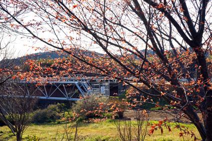 まだ咲かぬ桜情報_b0145296_16435525.jpg
