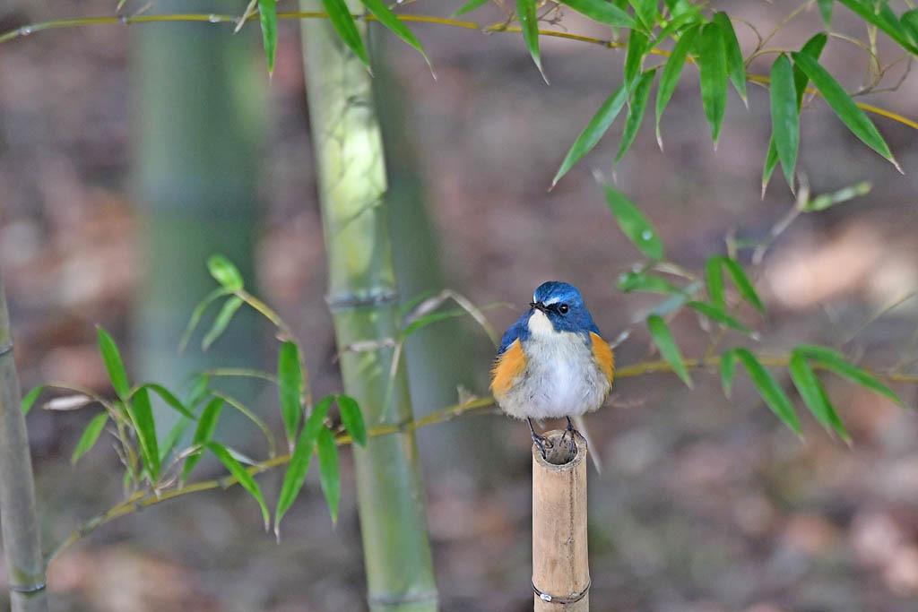 竹藪の鳥/ルリビタキ/ジョウビタキ/シロハラ/オオアカハラ_b0024798_08573624.jpg