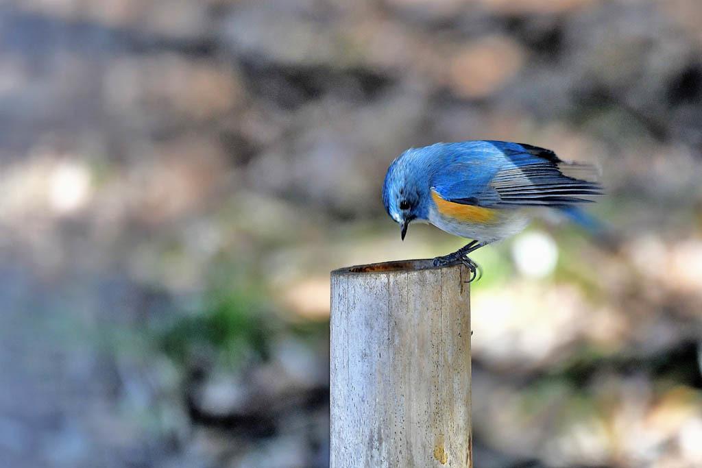 竹藪の鳥/ルリビタキ/ジョウビタキ/シロハラ/オオアカハラ_b0024798_08584526.jpg
