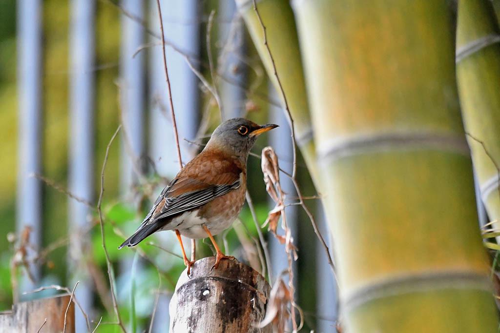 竹藪の鳥/ルリビタキ/ジョウビタキ/シロハラ/オオアカハラ_b0024798_09014955.jpg